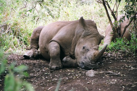 A rhino succumbs to scabies. As they all will.