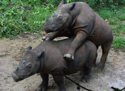 Rhinos making more rhinos